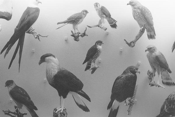 שמחה שירמן, ציפורים - מוזיאון הטבע, ניו יורק